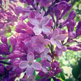 Lilacs. Blooming early purple beautiful. I love  they are one of my favorites, they smell amazing and look amazing Stock Photos