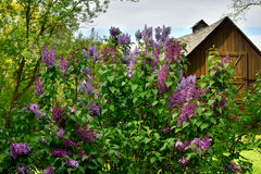 Lilacs. Blooming in front of an old wooden, brown barn at Old World Wisconsin, a living history, outdoor museum in Eagle, Wisconsin Royalty Free Stock Photos