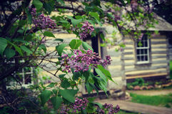 Lilacs. Blooming in front of one of the historical homes at Old World Wisconsin in Eagle, WI Royalty Free Stock Photo