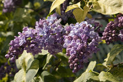 Lilacs blooming Stock Photography