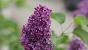 Lilacs blooming 1080p stock footage