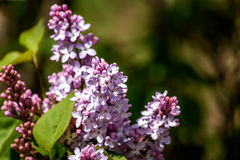 Lilacs blooming in spring Stock Photos