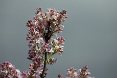 Lilacs. Blooming trees of pink blossoms. Dark blurred background. Royalty Free Stock Image