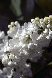 Lilacs. Blooming trees of white blossoms. Dark blurred background. Royalty Free Stock Photography