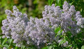 Lilacs in blossom Stock Photos