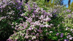 Lilacs. In blossom on a spring day Royalty Free Stock Images