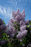 Lilacs blossoming Stock Images