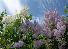 Lilacs blossoming. White and purple lilacs blossoming on a tree and blue sky, Sweden in May Royalty Free Stock Photography