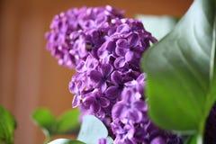 Lilacs Stock Photography