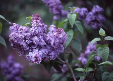 Lilacs, Brooklyn Botanic Garden. This beautiful Lilac tree is in full bloom at the Brooklyn Botanic Gardens royalty free stock photos