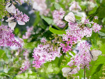 Lilacs and butterflies Stock Photo