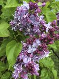 Lilacs Stock Images