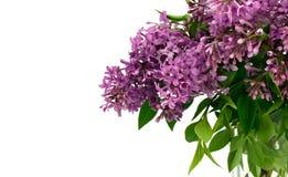 Lilacs com espaço branco para o texto Imagens de Stock