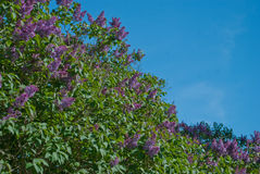 Lilacs with Copy space Royalty Free Stock Photos