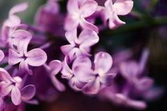 Lilacs de florescência Imagem de Stock Royalty Free