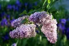 Lilacs de florescência Variedade de surpresas das variedades com máscaras imagens de stock