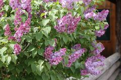 Lilacs by the door Royalty Free Stock Photos