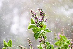 Lilacs with falling snow. Budding & blooming Lilac flowers caught in an unexpected late spring snowfall. A reminder to gardeners against planting too early in royalty free stock photography