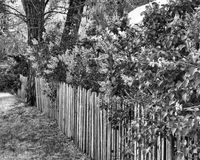 Lilacs and Fence. Walk down a country lane and admire the old fences that guide our path. Painted white or green, or just weathered, they give a place for lilacs Stock Image