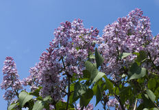 Lilacs flower Stock Photography