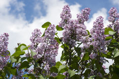 Lilacs flower on a bush Royalty Free Stock Photography