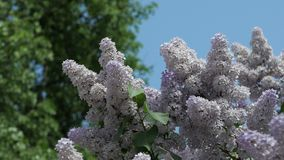 Lilacs flowering, blooming. Flowers of lilac on the wind. Lilacs flowering, blooming. Flowers of lilac on the wind against a blue sky stock footage