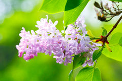 Lilacs flowers Stock Photography