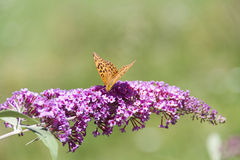Lilacs flowers and butterfly. Issoria lathonia  on lilacs flowers Royalty Free Stock Photo
