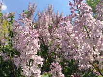 Lilacs Royalty Free Stock Image