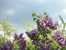 Lilacs and fresh leaves royalty free stock images
