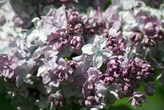 Lilacs. Gorky park in Moscow. Stock Photo