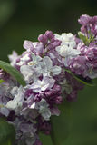 Lilacs. Gorky park in Moscow. Stock Images