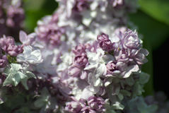 Lilacs. Gorky park in Moscow. Royalty Free Stock Image