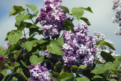 Lilacs. Gorky park in Moscow. Royalty Free Stock Images