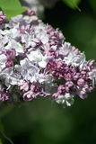 Lilacs. Gorky park in Moscow. Royalty Free Stock Photos