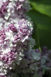 Lilacs. Gorky park in Moscow. Royalty Free Stock Photo
