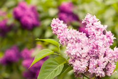 Lilacs. Growing in the garden Royalty Free Stock Image