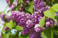 Lilacs growing in nature Stock Photos