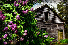 Lilacs by House Stock Photo