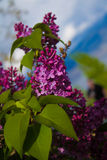Lilacs. I took this photo because lilacs are my grandmothers favorite flower Stock Photos