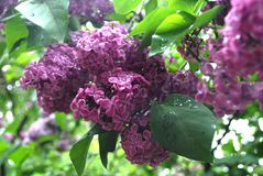 Lilacs at Kyiv Botanical Graden. Lilacs at Kyiv Big Botanical Graden at Spring royalty free stock photos