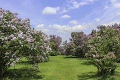 Rows of lilacs in full bloom along a grass path. Lilacs in the park on a bright spring day. Blue sky with white clouds. Rochester, New York stock photo