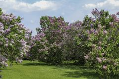 Rows of lilacs in full bloom along a grass path. Lilacs in the park on a bright spring day. Blue sky with white clouds. Rochester, New York royalty free stock photos