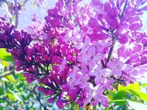 Lilacs. Purple lilacs blooming already outside Royalty Free Stock Photos