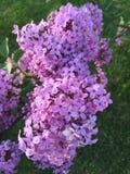 Lilacs. Purple blossom lilacs Stock Image