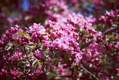 Lilacs. Purple lilacs growing blooming early Royalty Free Stock Photo