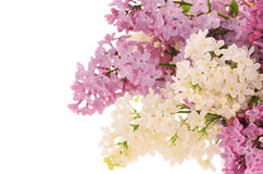 Lilacs. Purple and white lilacs in horizontal format isolated on white background with room for text Stock Image