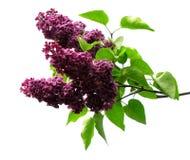 Lilacs roxos Fotografia de Stock Royalty Free