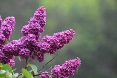 Lilacs roxos Imagem de Stock