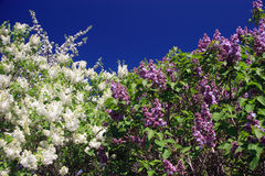 Lilacs and sky. Perspective of some white and purple lilacs and deep blue sky background Stock Photo